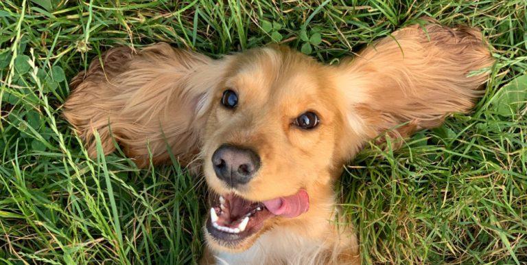 hund på golfbanan